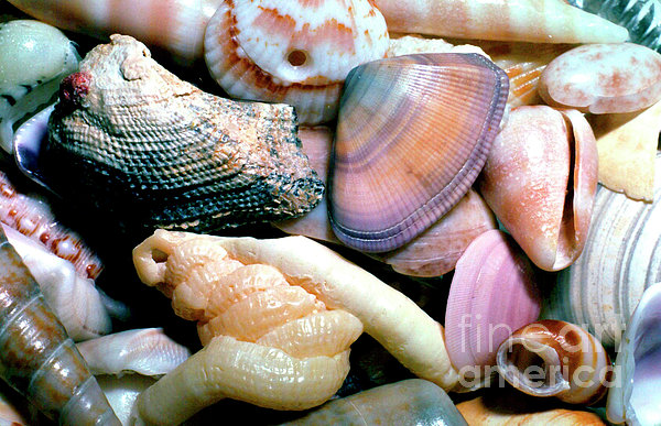 Seashells Puerto Rico Print by Thomas R Fletcher