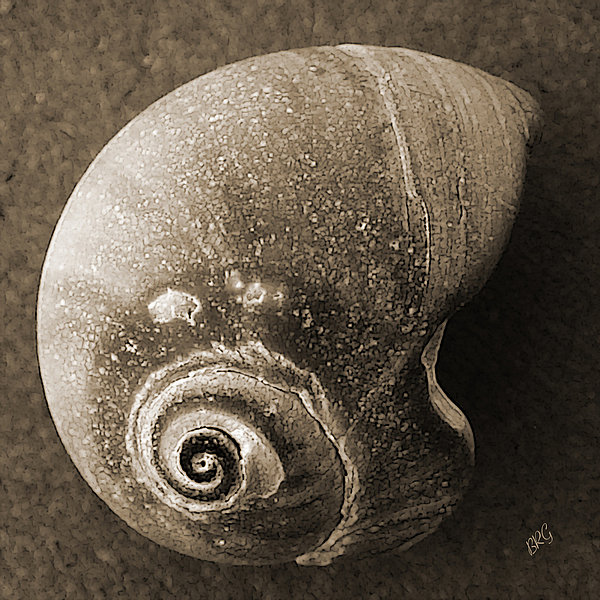 Seashells Spectacular No 31 Print by Ben and Raisa Gertsberg