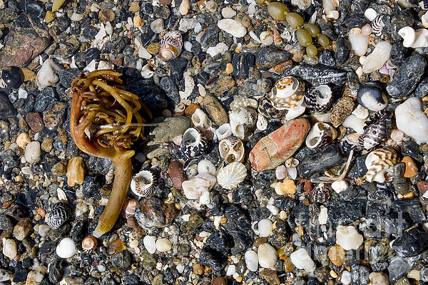 Seaweed And Shells Print by Steven Ralser