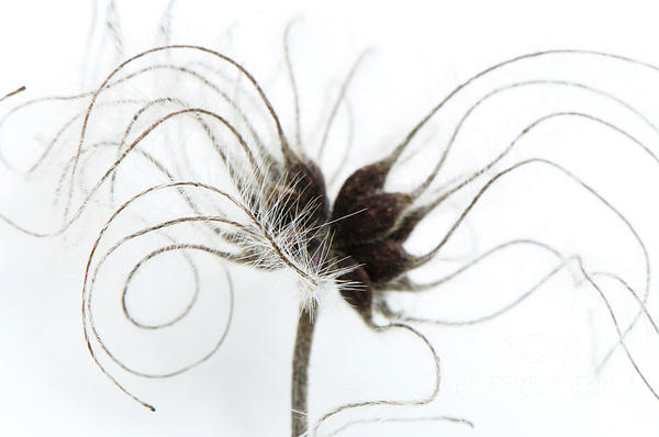 Seeds Print by Anne Gilbert