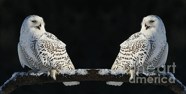 Inspired Nature Photography By Shelley Myke - Seeing Double- Snowy Owl at Twilight