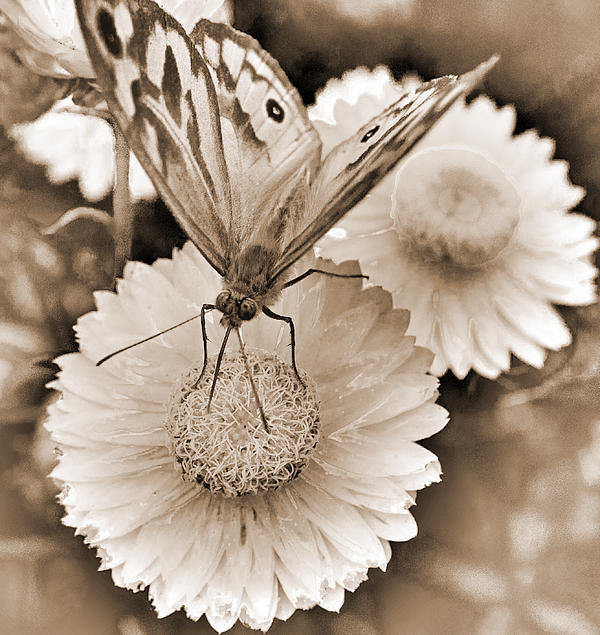 Sepia Monarch Butterfly On Paper Daisy Print by Patrick OConnell