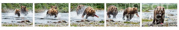 Sequence Of Large Brown Stealing Salmon From Smaller Brown Bear Print by Dan Friend