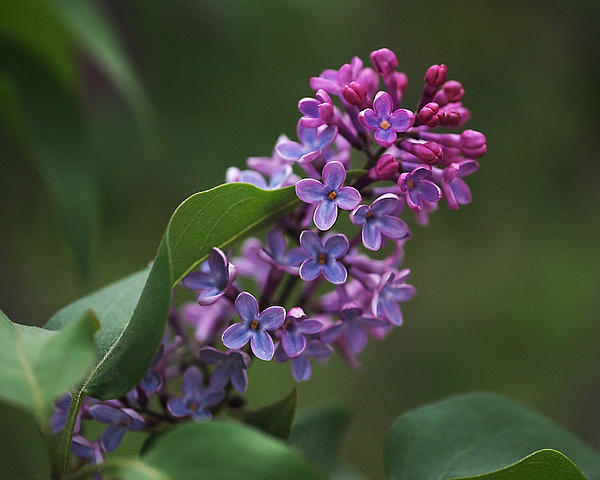 Shades Of Lilac  Print by Rona Black