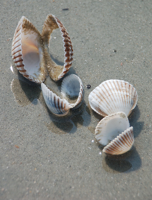 She Sells Sea Shells Print by Suzanne Gaff