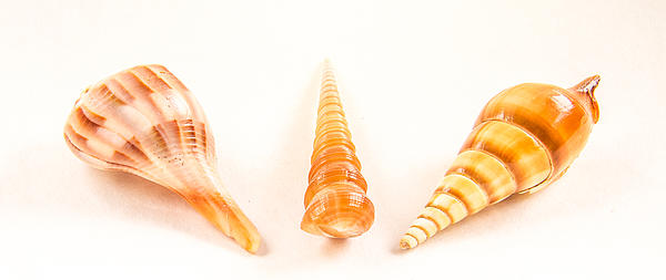 Shell Trio Print by Jean Noren