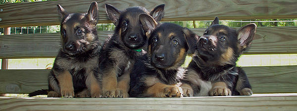 Shepherd Pups 2 Print by Aimee L Maher Photography and Art