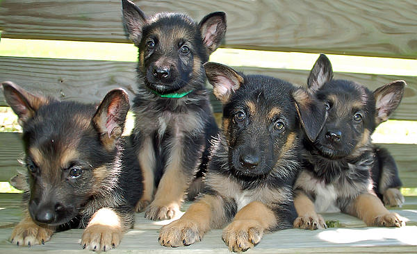 Aimee L Maher Photography and Art - Shepherd Pups 6