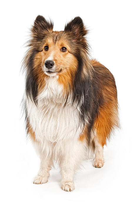 Shetland Sheepdog Dog Isolated On White Print by Susan  Schmitz