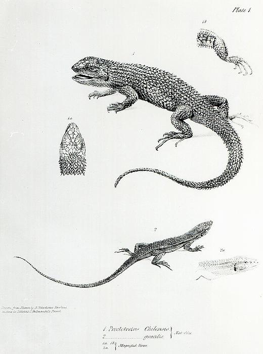 Shingled Iguana Print by English School