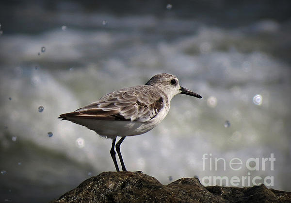 Shore Sanderling Print by Deborah Smith