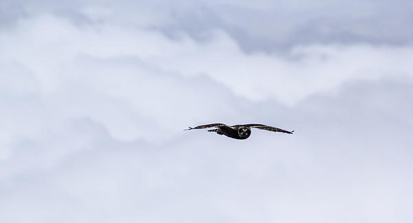 Short Eared Owl Above The Clouds Print by Brad Scott