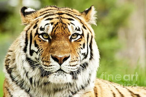 Siberian Tiger Beautiful Closeup Print by Boon Mee