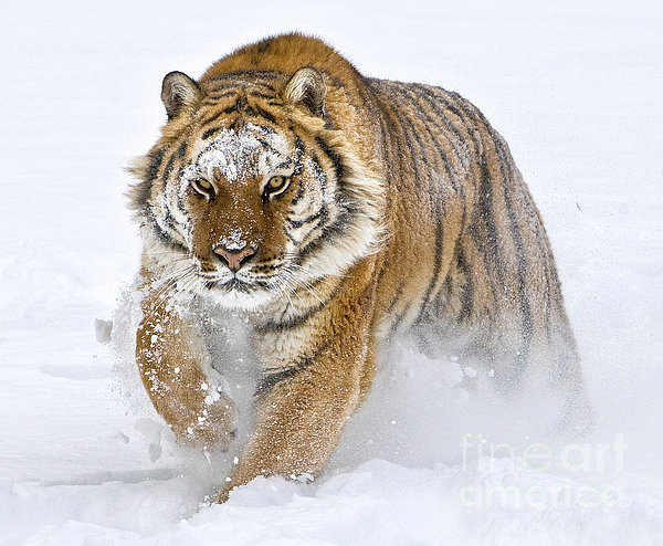 Jerry Fornarotto - Siberian Tiger Charge