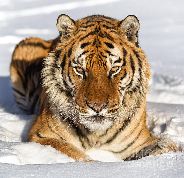 Siberian Tiger Face To Face Print by Jerry Fornarotto