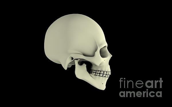 Side View Of Human Skull Print by Stocktrek Images