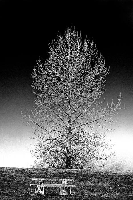 Silver Birch Print by Phil Dyer
