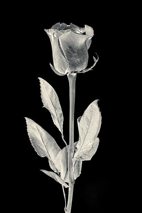 Silver Rose Print by Adam Romanowicz