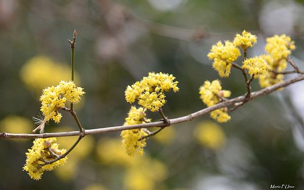 Silver Wattle In Spring Print by Maria Urso