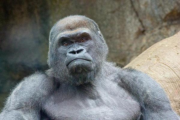 Allan Morrison - Silverback Gorilla