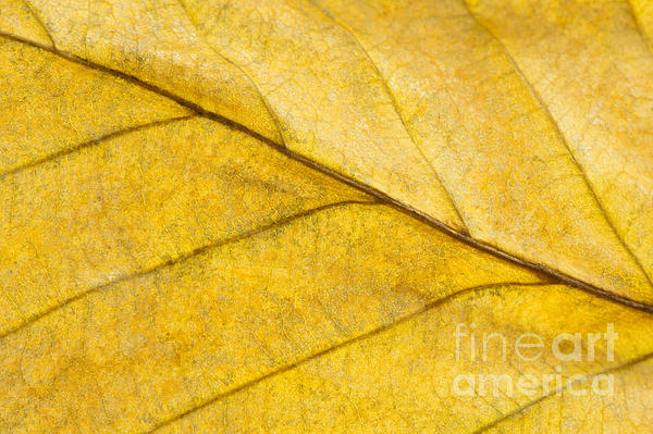 Simply Beech Print by Anne Gilbert