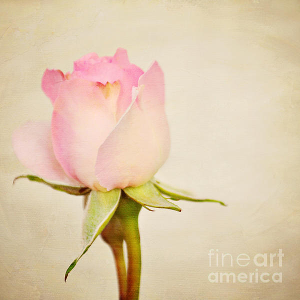 Single Baby Pink Rose Print by Lyn Randle