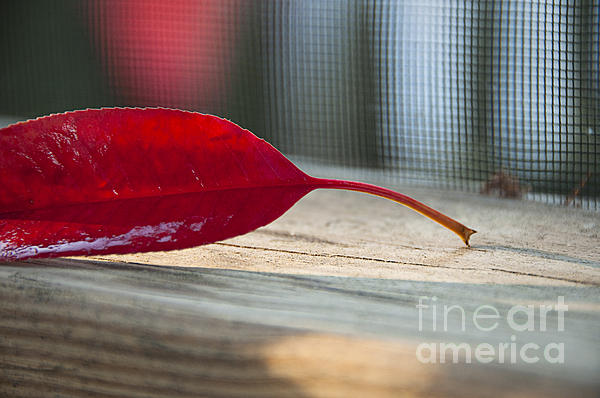 Single Red Leaf Print by Terry Rowe