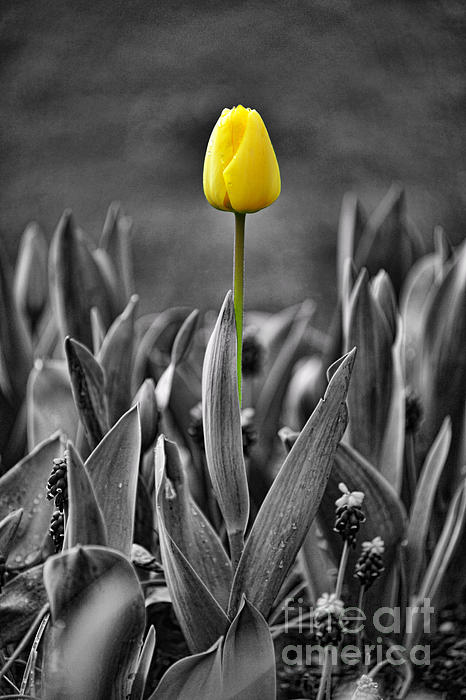 Single Yellow Tulip Fl618-10 by Randy Harris