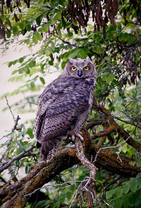 Sitting Owl Print by Athena Mckinzie