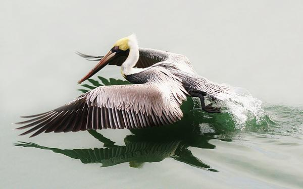 Skimming Across The Water Print by Paulette Thomas