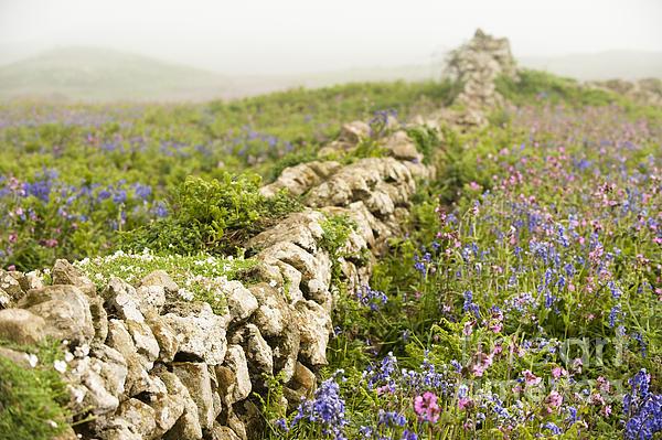 Anne Gilbert - Skomer Wildflowers