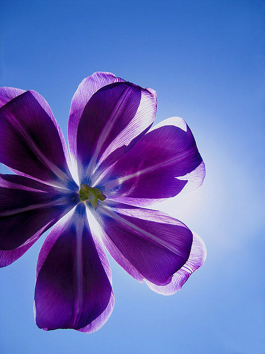Ann Sinclair - Sky Flower