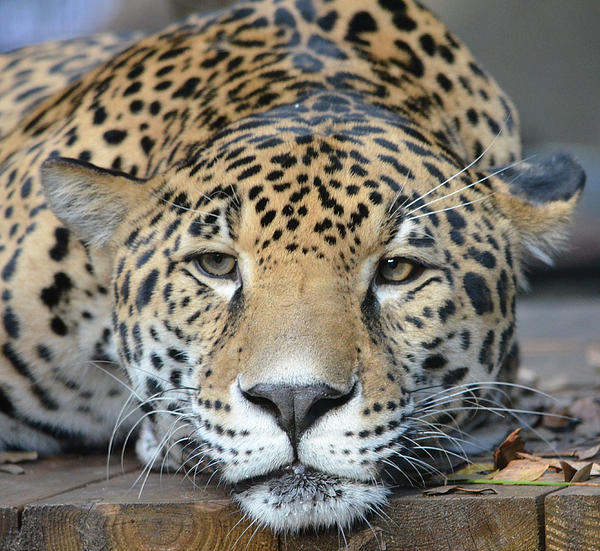 Richard Bryce and Family - Sleepy Jaguar