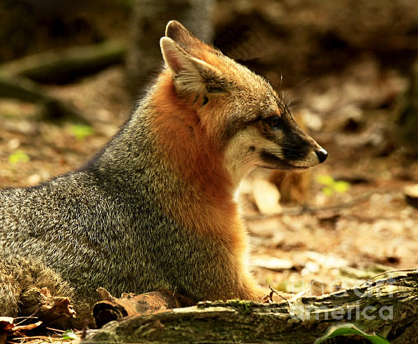 Sly Rare Grey Fox Print by Inspired Nature Photography By Shelley Myke