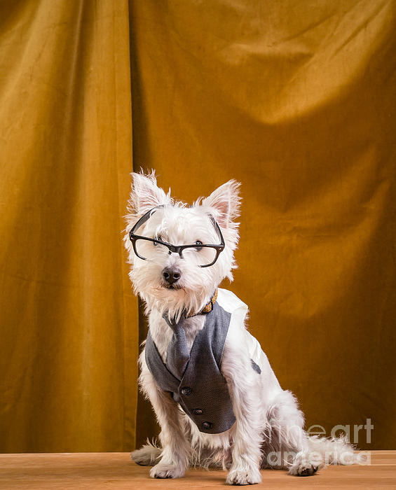 Small White Dog Wearing Glasses And Vest Print by Edward Fielding
