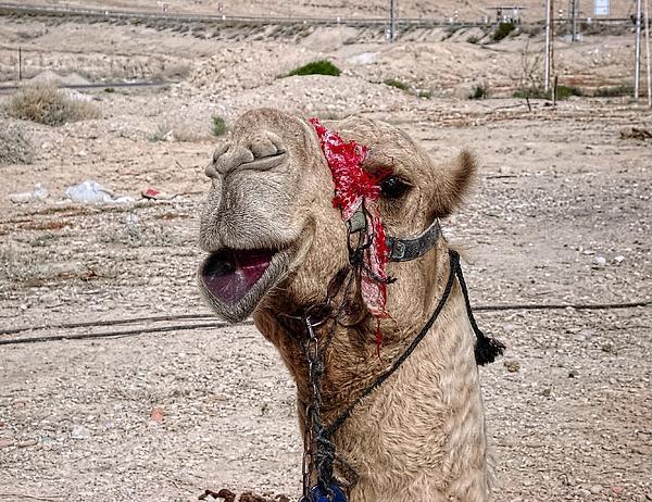 Smiling Camel Print by Sandra Pena de Ortiz