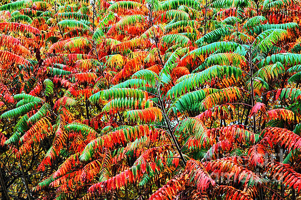 Smooth Sumac Fall Color Print by Thomas R Fletcher