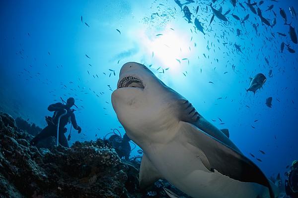 Snacking Bull Shark Print by Dave Fleetham
