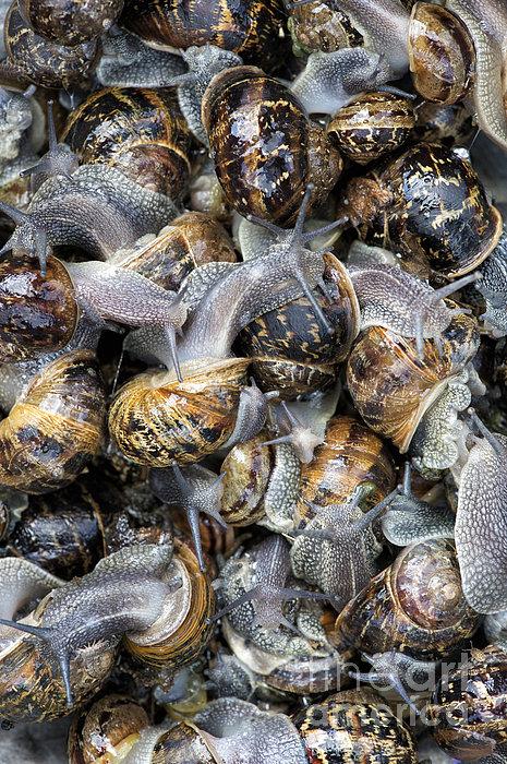 Snails Print by Tim Gainey