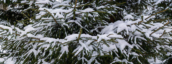 Snow Covered Spruce Tree - Featured 2 Print by Alexander Senin