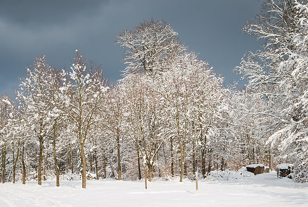 Snow Covered Trees In The Forest In Winter Print by Matthias Hauser