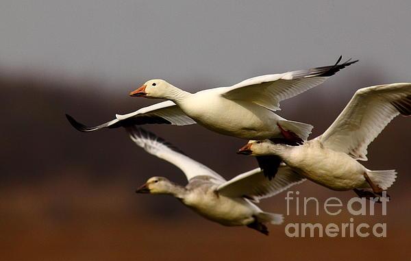 Robert Frederick - Snow Goose Formation Migration