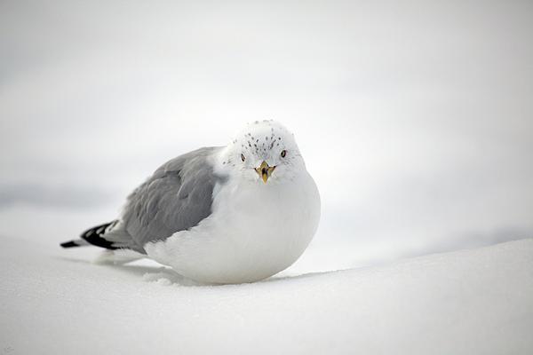 Karol Livote - Snow Gull