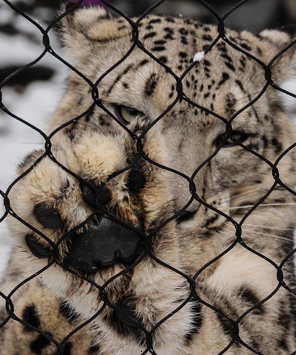 Snow Leopard Paw by Cathy Donohoue