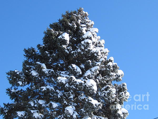 Snow On The Pine Print by Donna Cavender