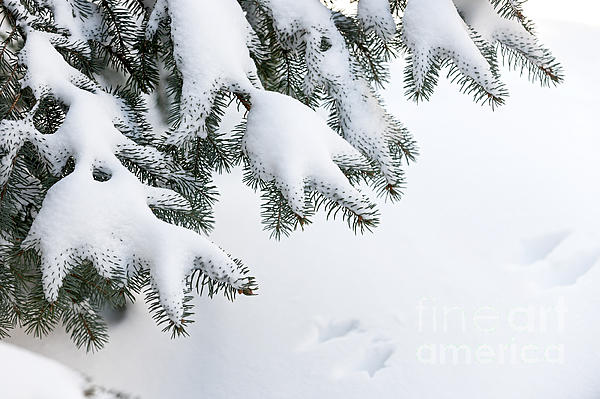 Snow On Winter Branches Print by Elena Elisseeva