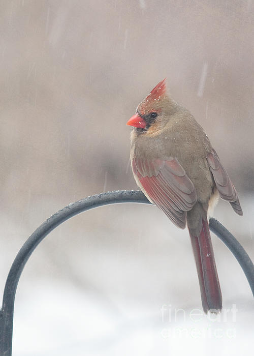 Snow Shower Print by Kay Pickens
