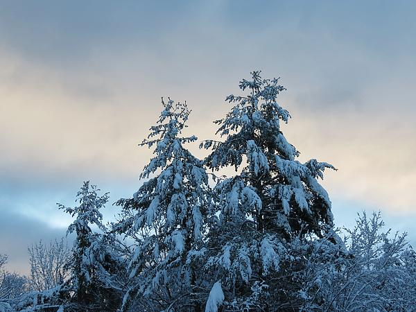 MTBobbins Photography - Snow Topped Pines