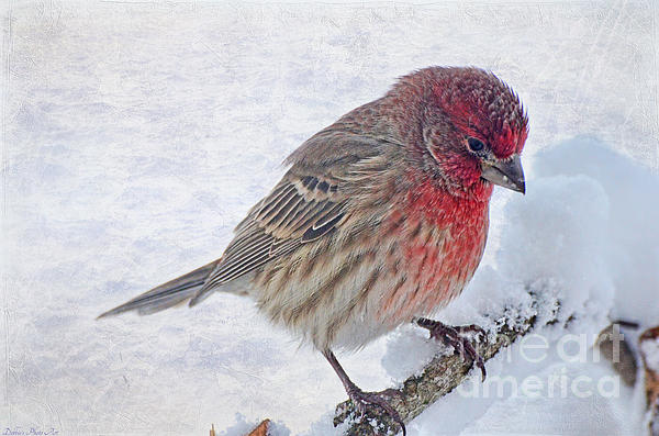 Snowy Day Housefinch Print by Debbie Portwood