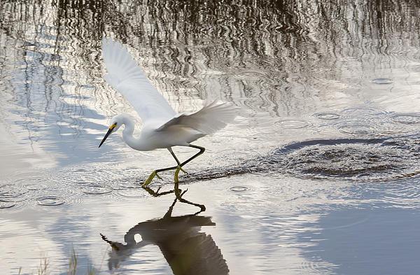 Snowy Egret Gliding Across The Water Print by John Bailey